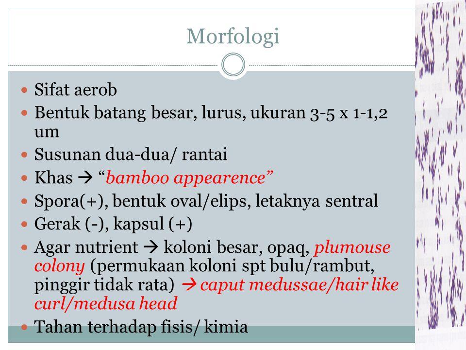 Morfologi Sifat aerob. Bentuk batang besar, lurus, ukuran 3-5 x 1-1,2 um. Susunan dua-dua/ rantai.