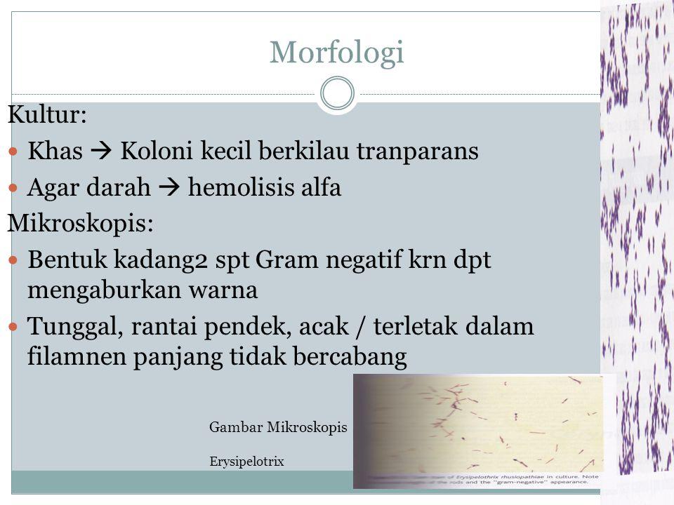 Morfologi Kultur: Khas  Koloni kecil berkilau tranparans