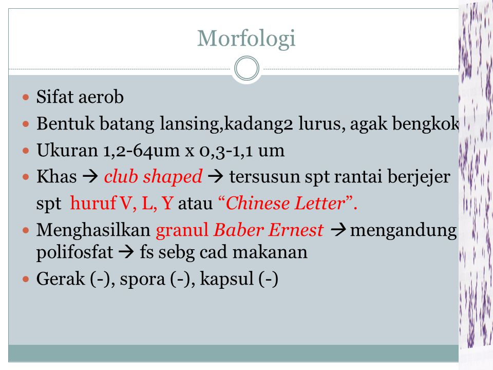 Morfologi Sifat aerob. Bentuk batang lansing,kadang2 lurus, agak bengkok. Ukuran 1,2-64um x 0,3-1,1 um.