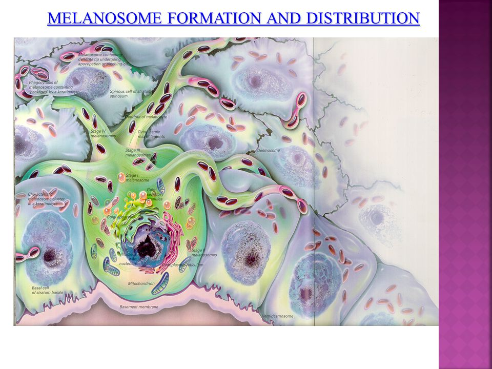 MELANOSOME FORMATION AND DISTRIBUTION