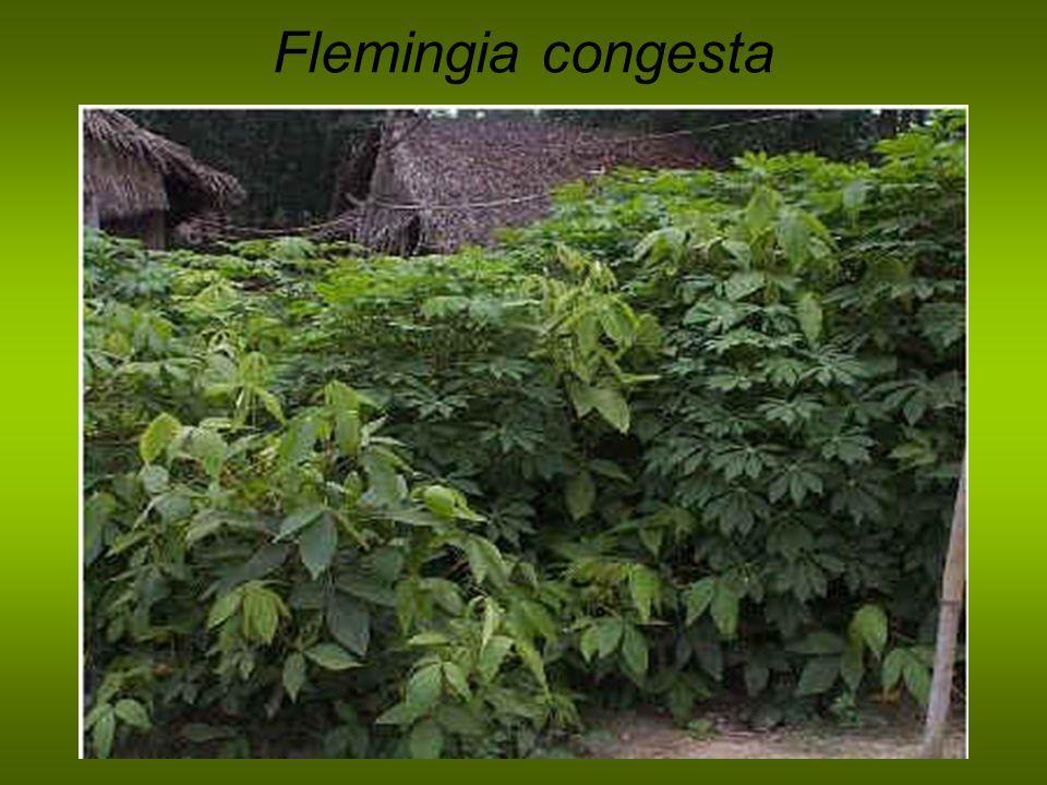 Flemingia congesta