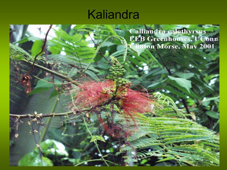 Kaliandra
