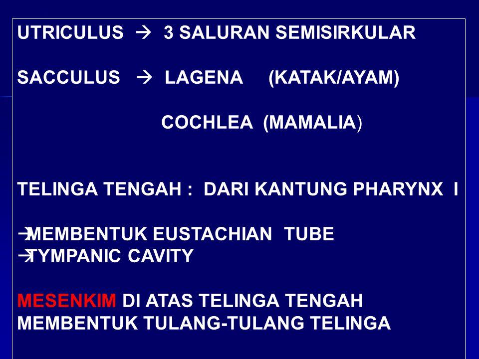 UTRICULUS  3 SALURAN SEMISIRKULAR