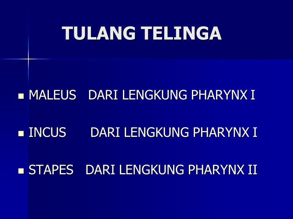 TULANG TELINGA MALEUS DARI LENGKUNG PHARYNX I