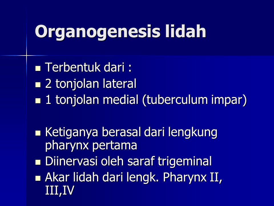Organogenesis lidah Terbentuk dari : 2 tonjolan lateral