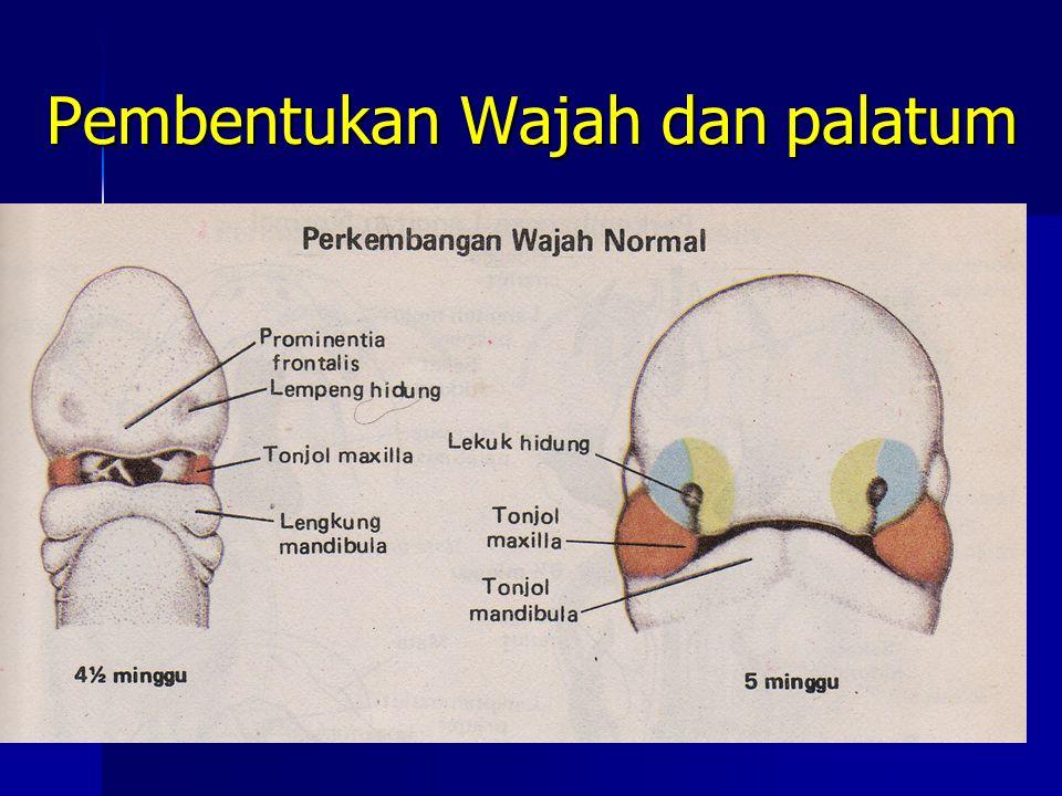 Pembentukan Wajah dan palatum