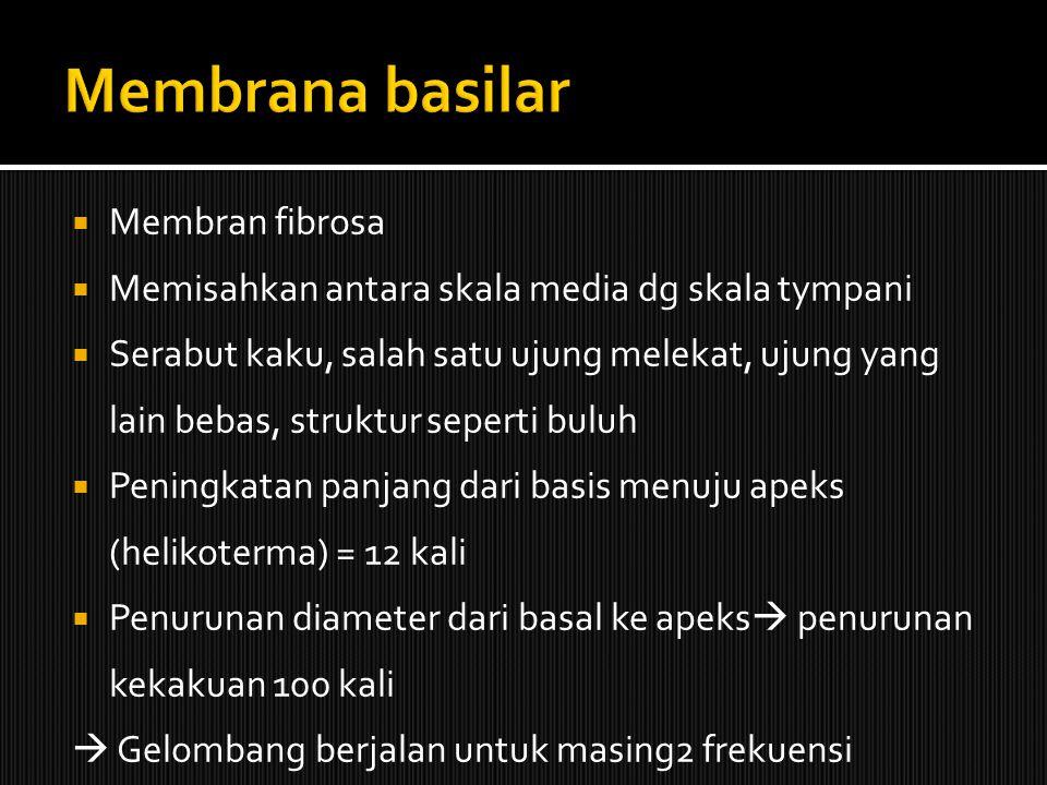 Membrana basilar Membran fibrosa