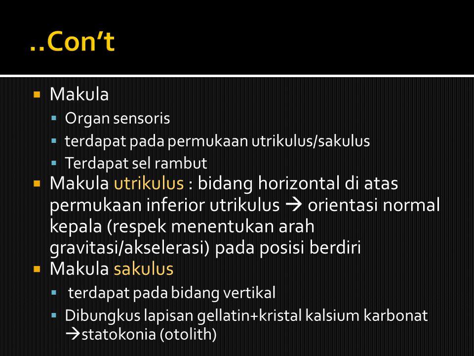 ..Con't Makula. Organ sensoris. terdapat pada permukaan utrikulus/sakulus. Terdapat sel rambut.
