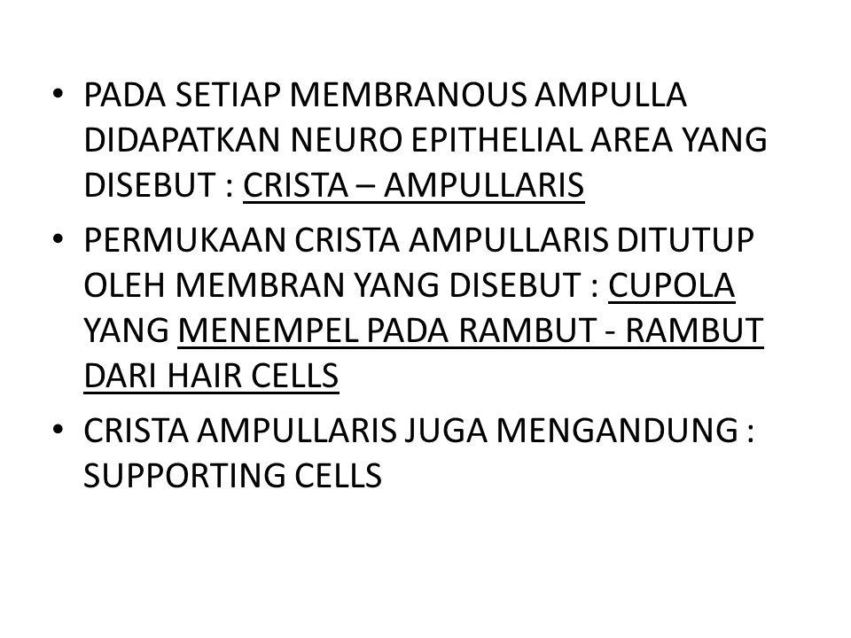 PADA SETIAP MEMBRANOUS AMPULLA DIDAPATKAN NEURO EPITHELIAL AREA YANG DISEBUT : CRISTA – AMPULLARIS