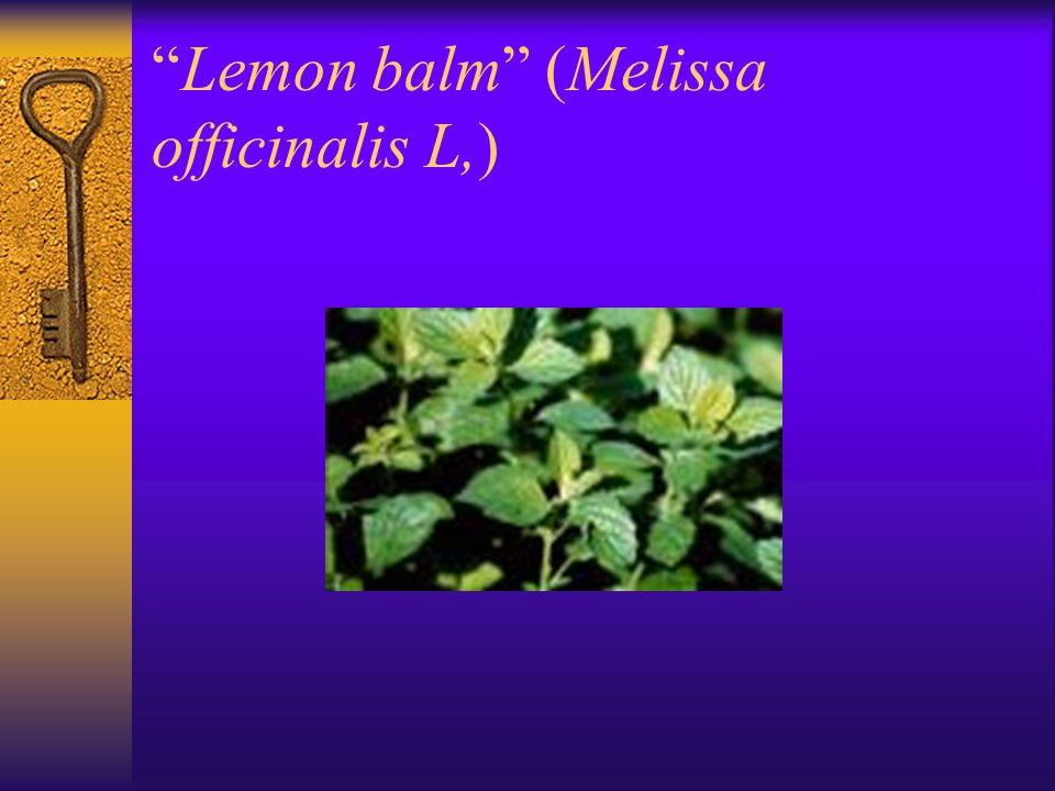 Lemon balm (Melissa officinalis L,)