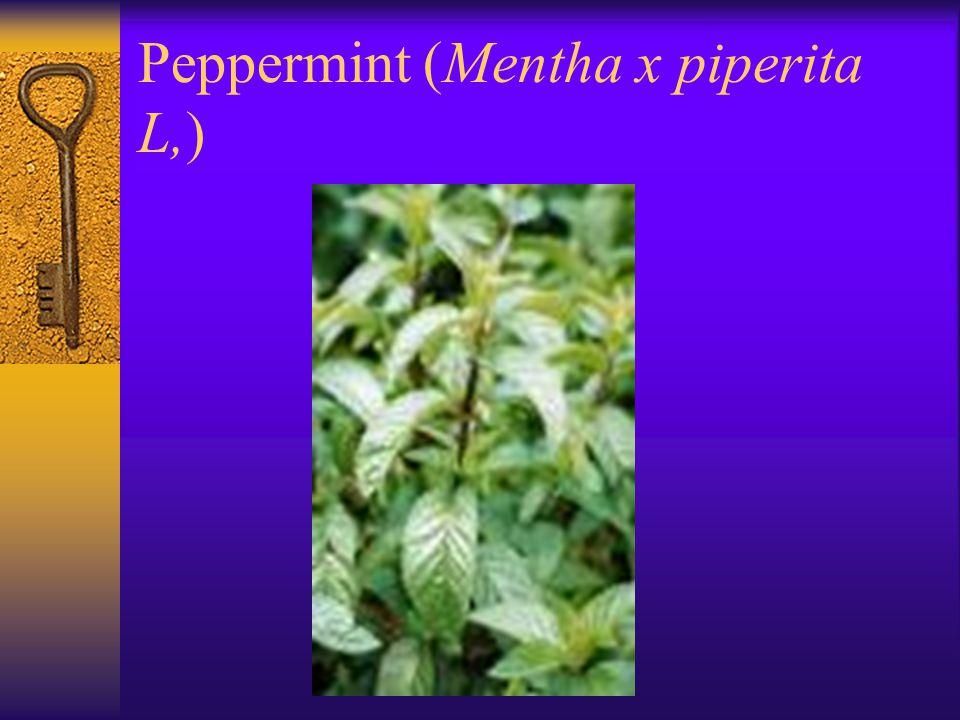 Peppermint (Mentha x piperita L,)