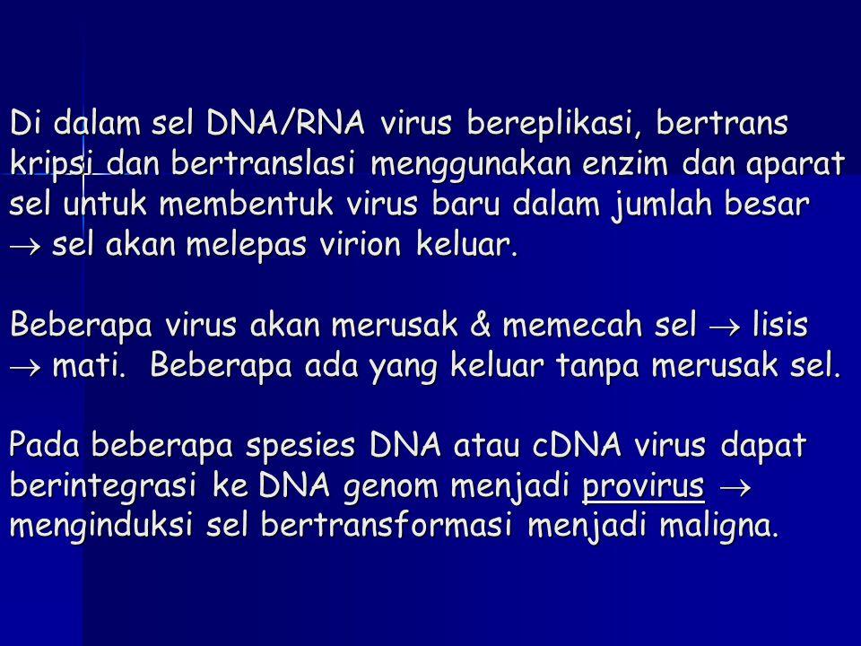 Di dalam sel DNA/RNA virus bereplikasi, bertrans kripsi dan bertranslasi menggunakan enzim dan aparat sel untuk membentuk virus baru dalam jumlah besar  sel akan melepas virion keluar.