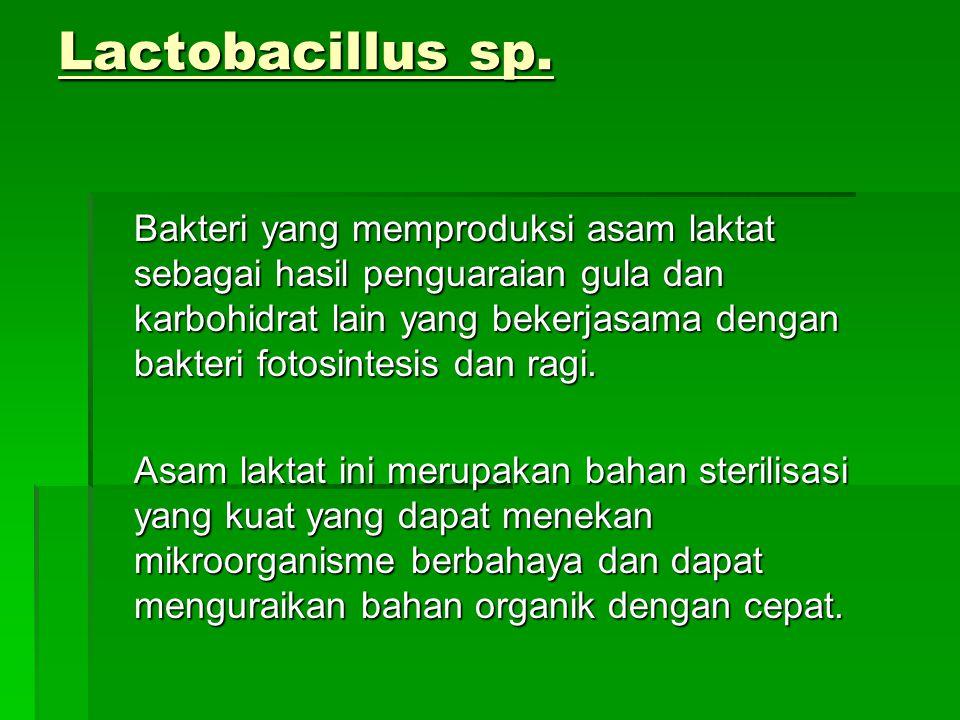 Lactobacillus sp.