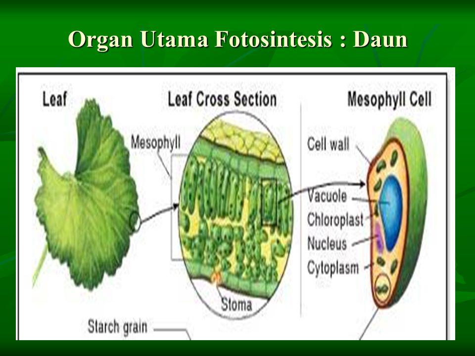 Organ Utama Fotosintesis : Daun