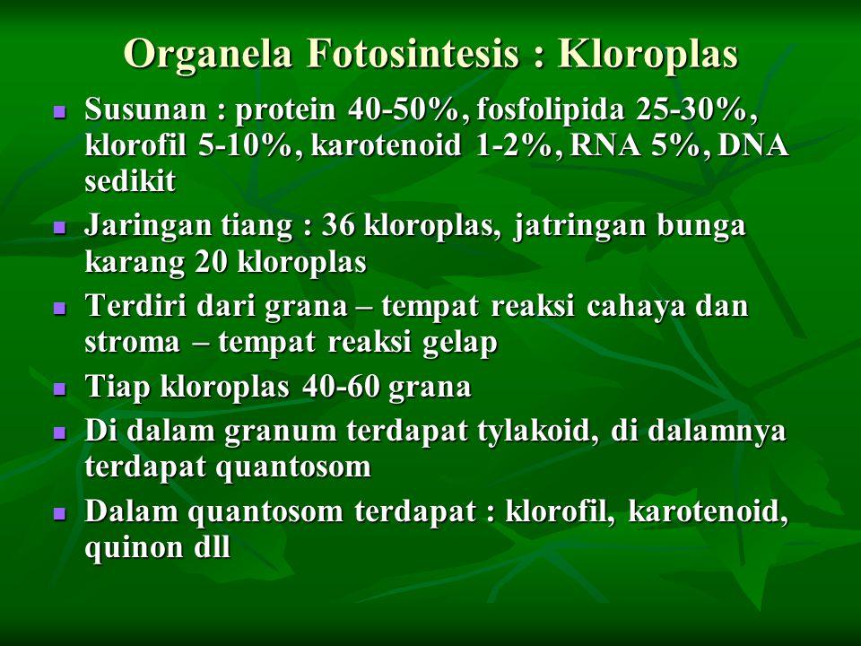 Organela Fotosintesis : Kloroplas