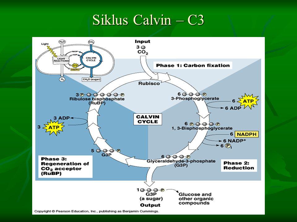 Siklus Calvin – C3