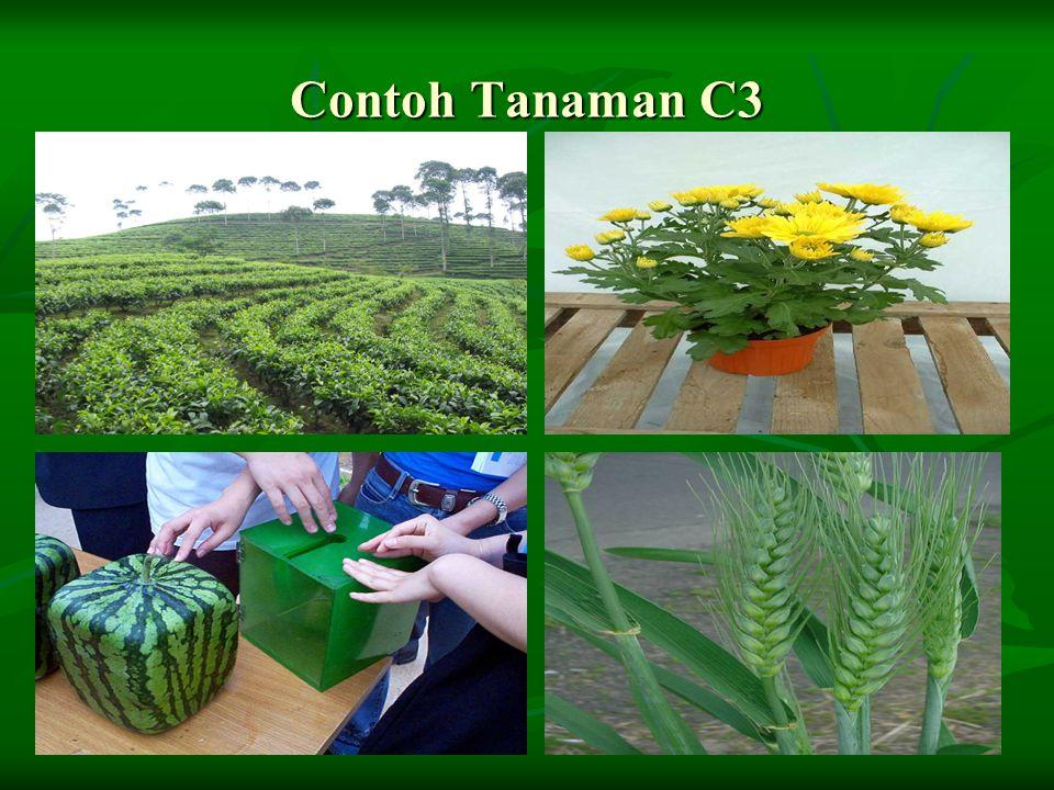 Contoh Tanaman C3