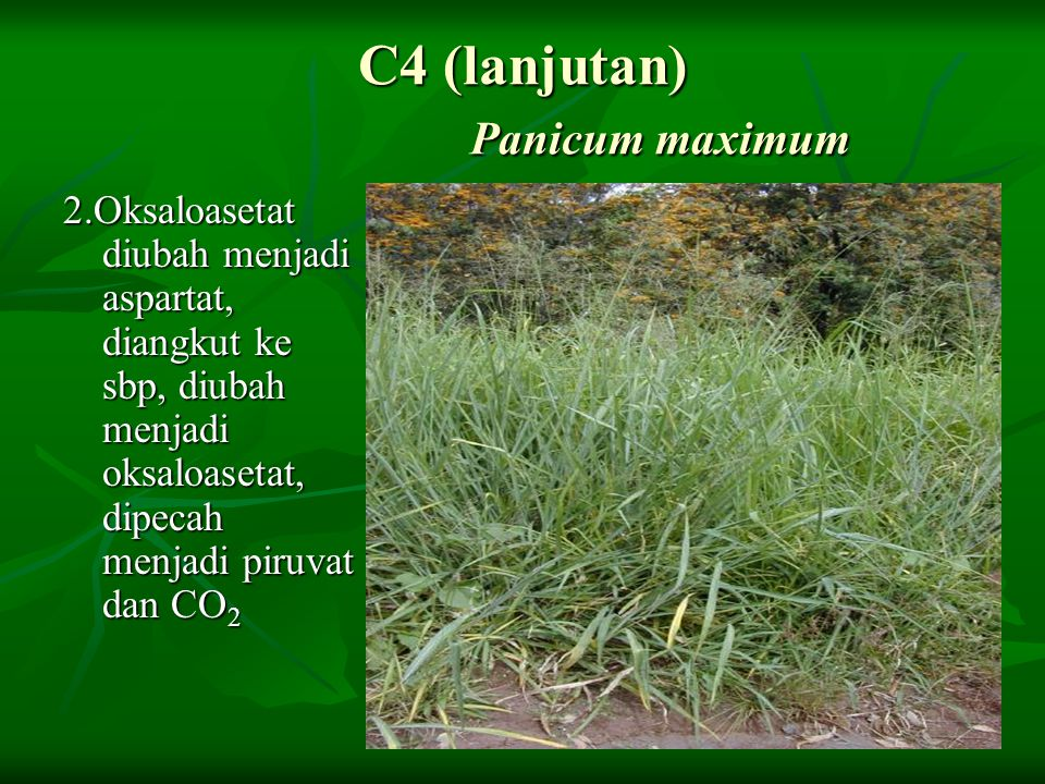 C4 (lanjutan) Panicum maximum