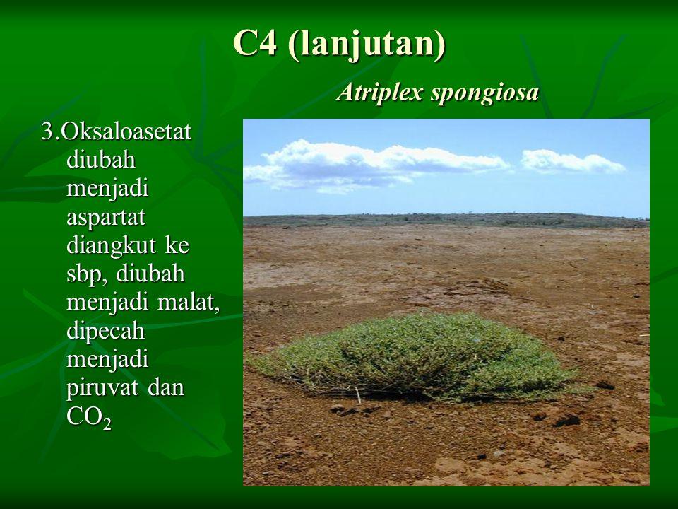 C4 (lanjutan) Atriplex spongiosa