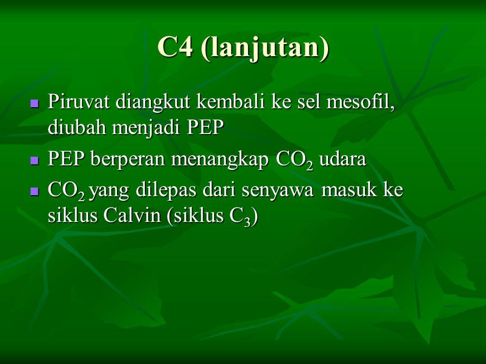C4 (lanjutan) Piruvat diangkut kembali ke sel mesofil, diubah menjadi PEP. PEP berperan menangkap CO2 udara.
