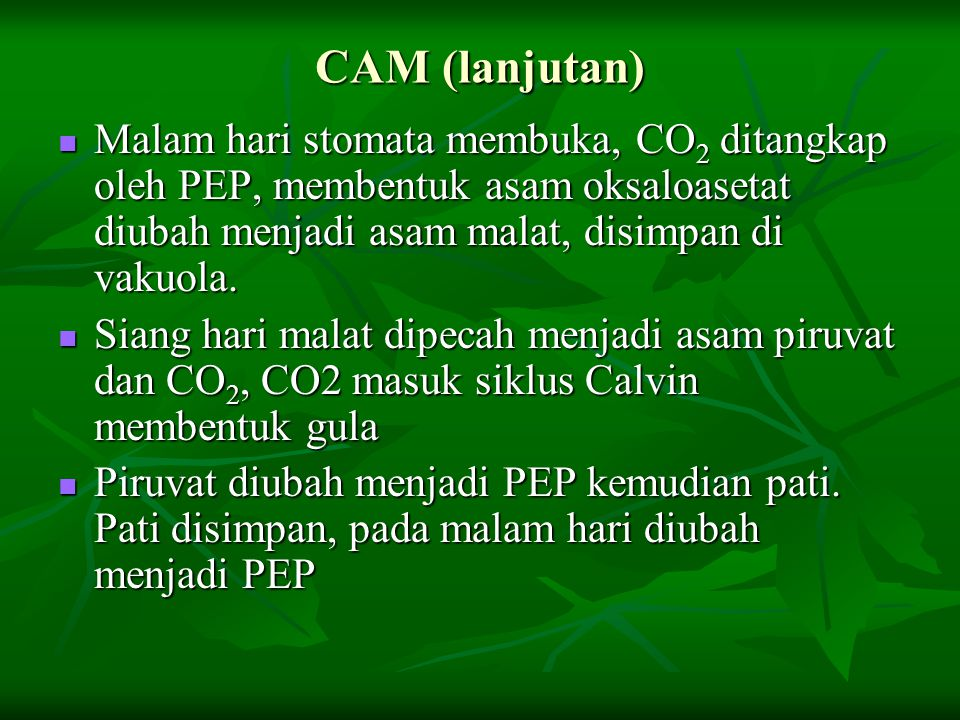 CAM (lanjutan) Malam hari stomata membuka, CO2 ditangkap oleh PEP, membentuk asam oksaloasetat diubah menjadi asam malat, disimpan di vakuola.