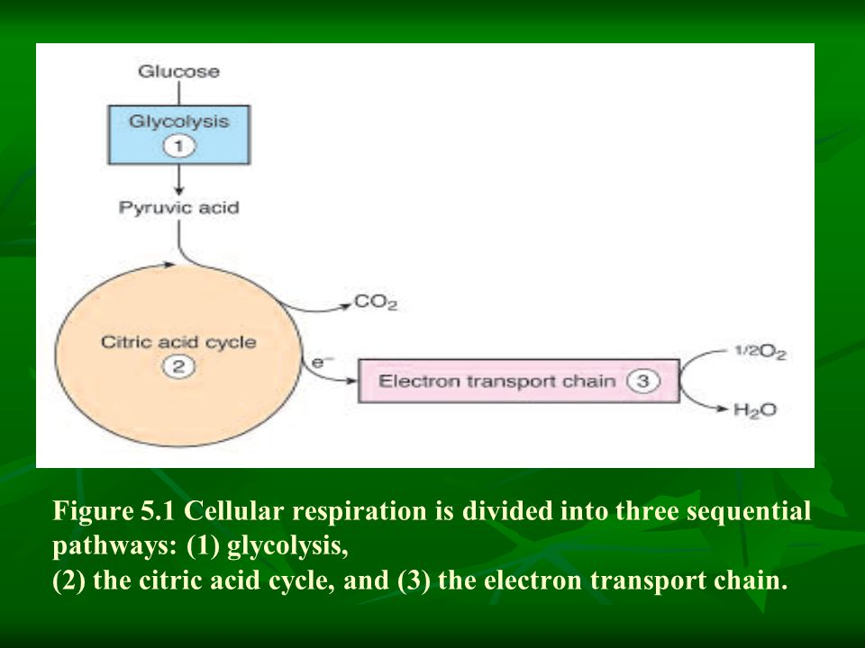 Figure 5.1 Cellular respiration is divided into three sequential pathways: (1) glycolysis, (2) the citric acid cycle, and (3) the electron transport chain.