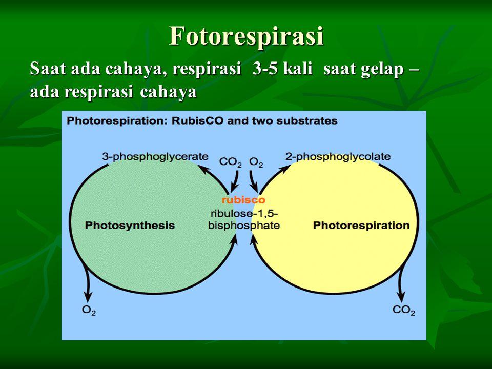Fotorespirasi Saat ada cahaya, respirasi 3-5 kali saat gelap –