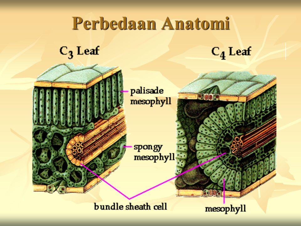 Perbedaan Anatomi