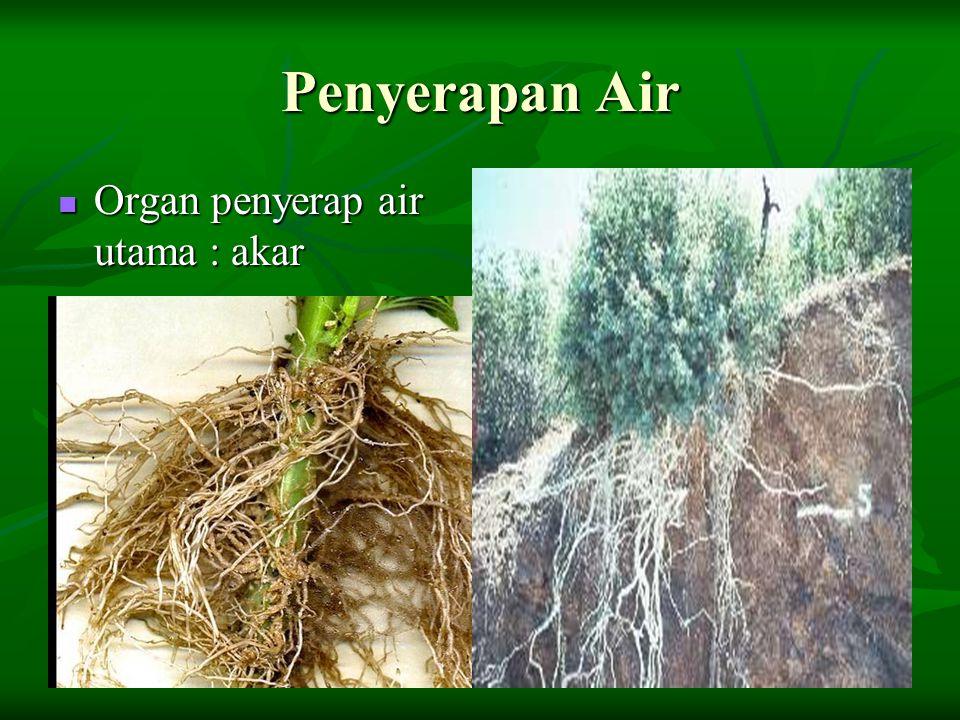 Penyerapan Air Organ penyerap air utama : akar