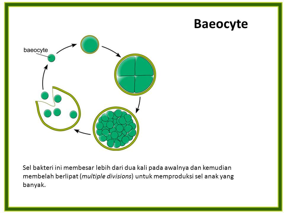 Baeocyte