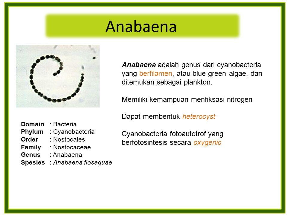 Anabaena Anabaena adalah genus dari cyanobacteria yang berfilamen, atau blue-green algae, dan ditemukan sebagai plankton.