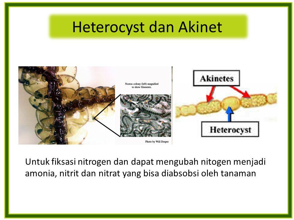 Heterocyst dan Akinet Untuk fiksasi nitrogen dan dapat mengubah nitogen menjadi amonia, nitrit dan nitrat yang bisa diabsobsi oleh tanaman.
