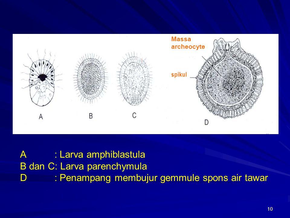 A : Larva amphiblastula B dan C: Larva parenchymula
