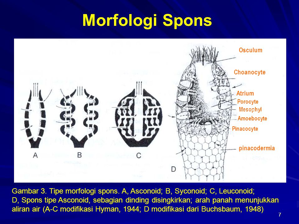 Morfologi Spons Osculum. Choanocyte. Atrium. Porocyte. Mesophyl. Amoebocyte. pinacodermia. Pinacocyte.