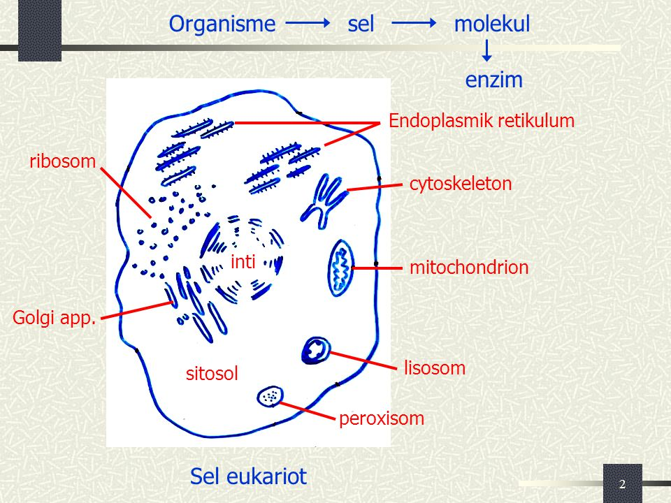 Organisme sel molekul enzim Sel eukariot Endoplasmik retikulum ribosom