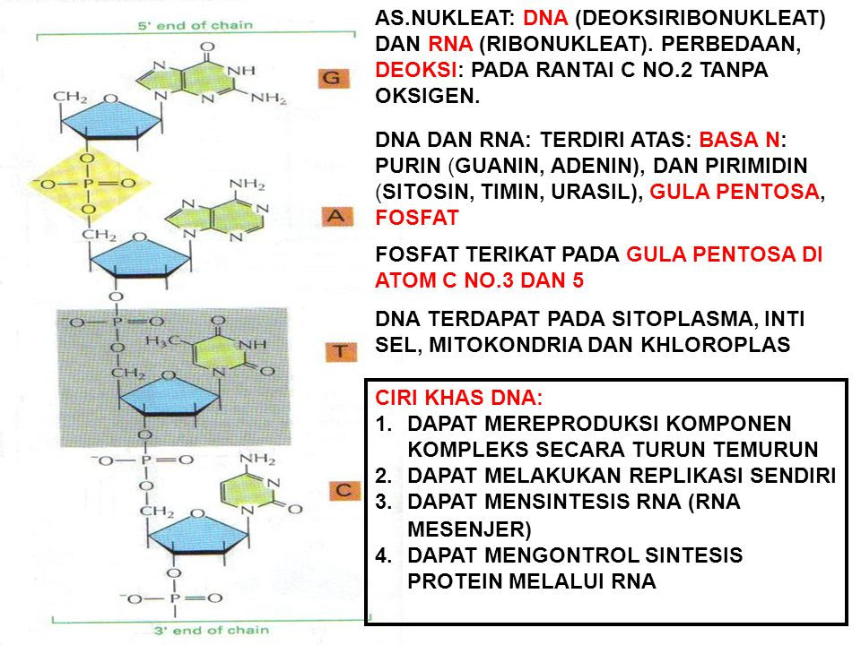 AS. NUKLEAT: DNA (DEOKSIRIBONUKLEAT) DAN RNA (RIBONUKLEAT)