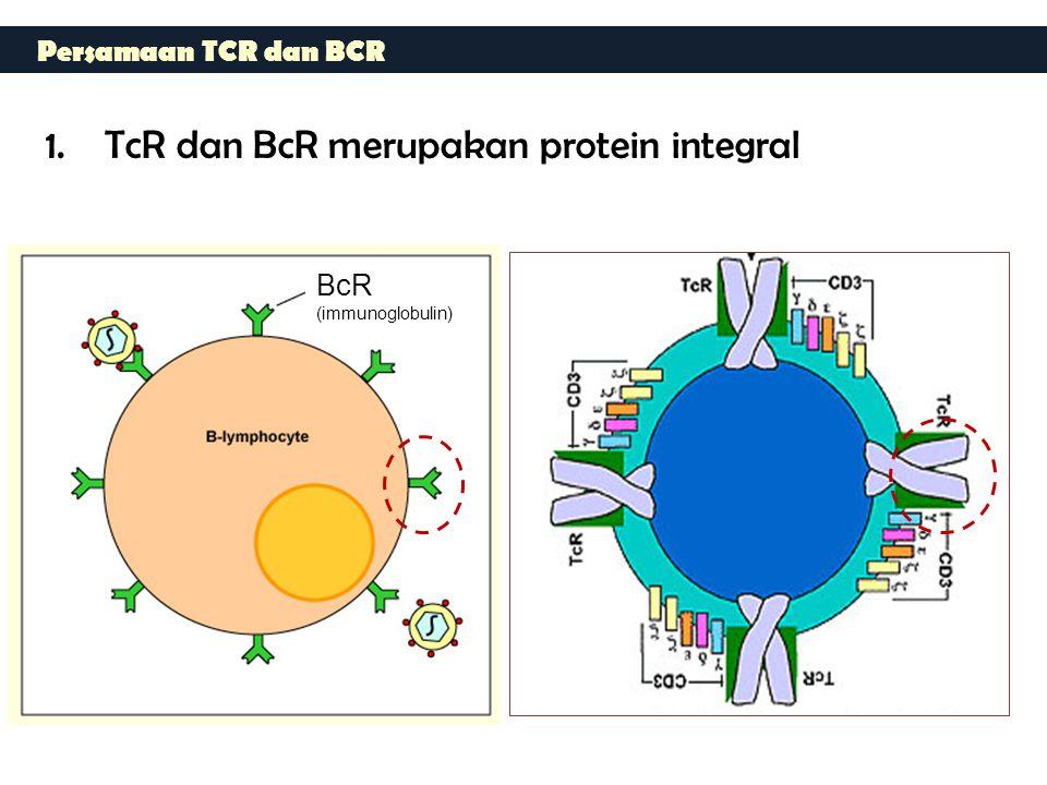 TcR dan BcR merupakan protein integral