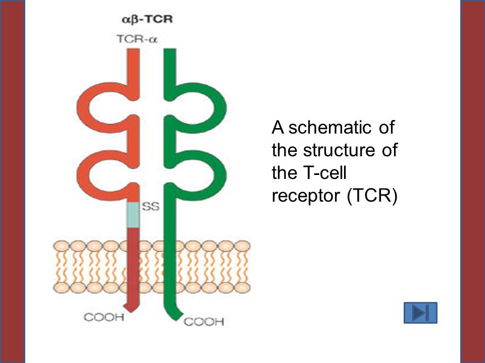 A schematic of the structure of the T-cell receptor (TCR)