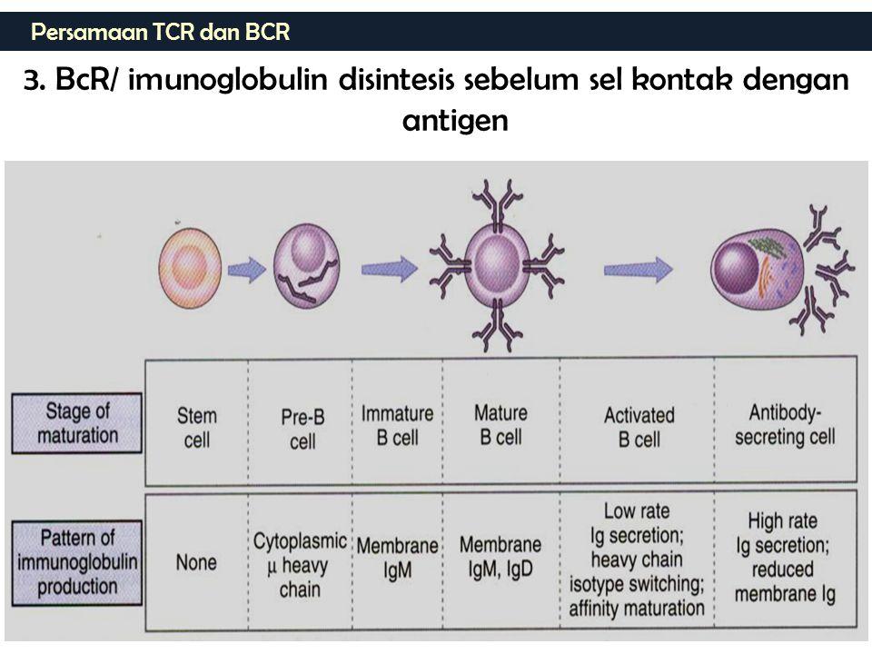 3. BcR/ imunoglobulin disintesis sebelum sel kontak dengan antigen