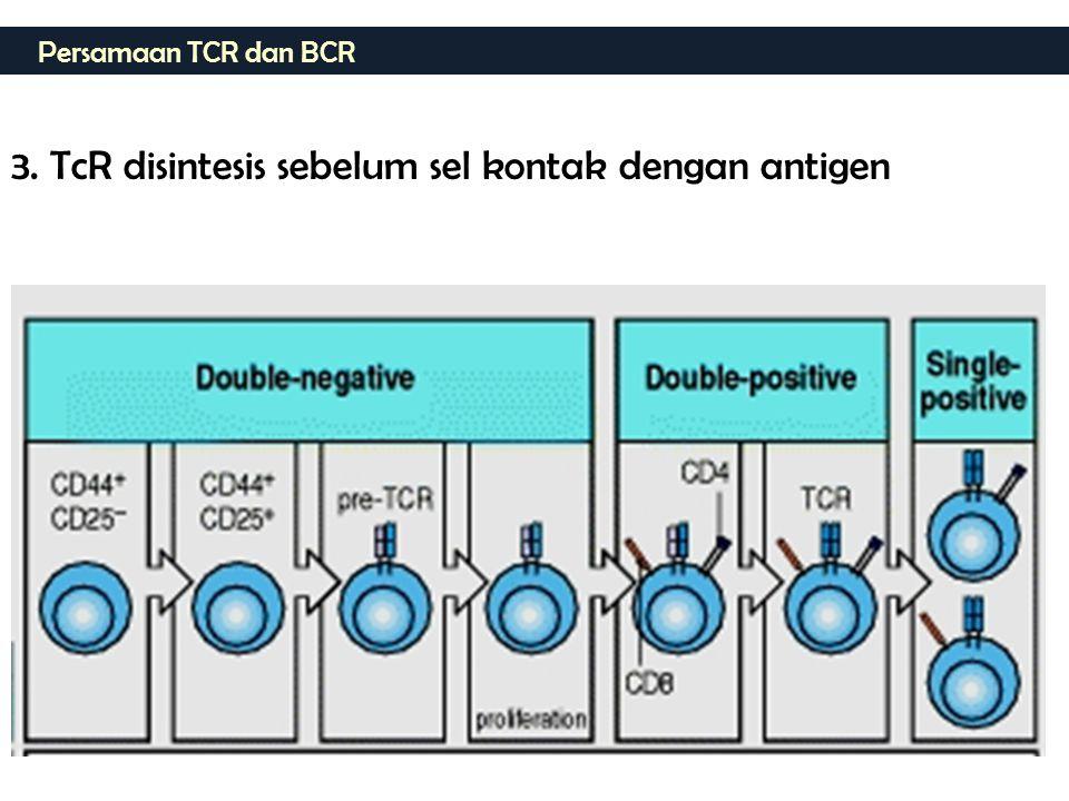 3. TcR disintesis sebelum sel kontak dengan antigen