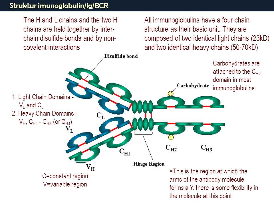 Struktur imunoglobulin/Ig/BCR