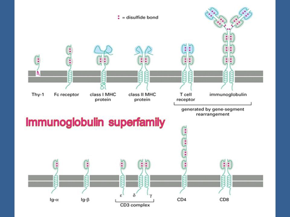Immunoglobulin superfamily