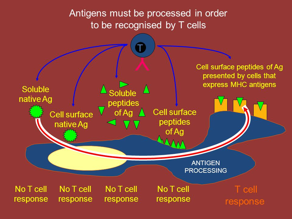 Y Antigens must be processed in order to be recognised by T cells T