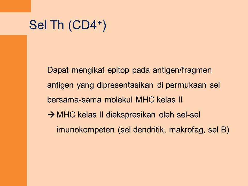 Sel Th (CD4+) Dapat mengikat epitop pada antigen/fragmen antigen yang dipresentasikan di permukaan sel bersama-sama molekul MHC kelas II.