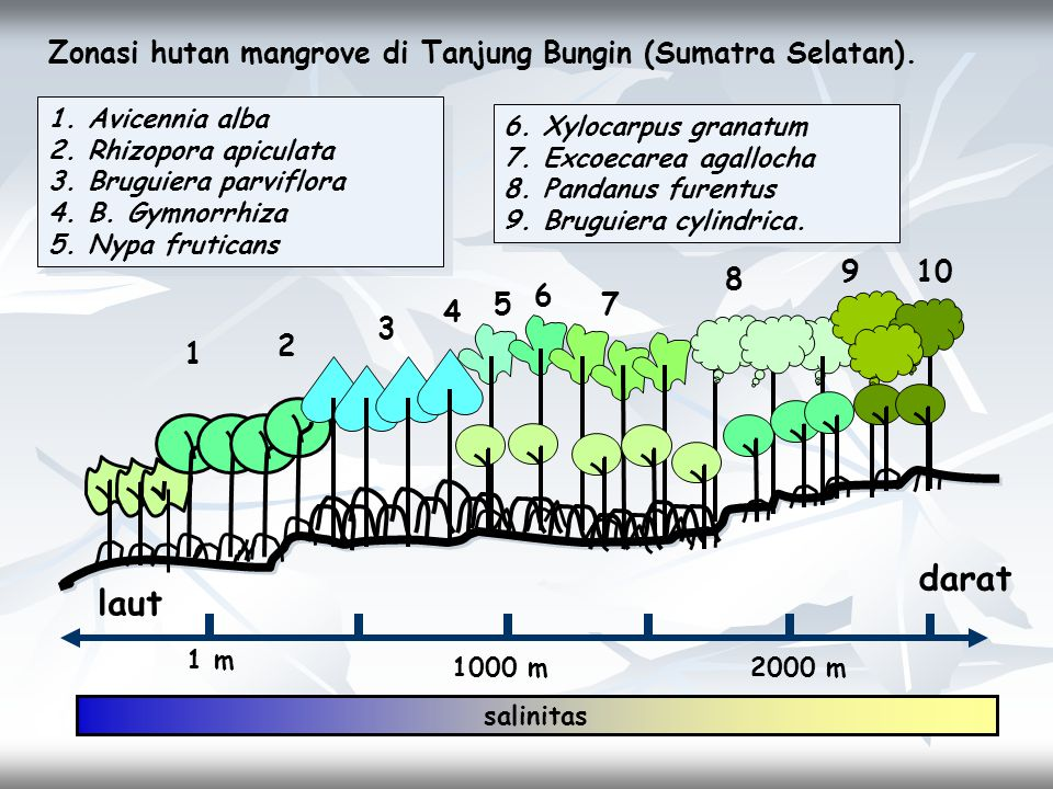 darat laut Zonasi hutan mangrove di Tanjung Bungin (Sumatra Selatan).