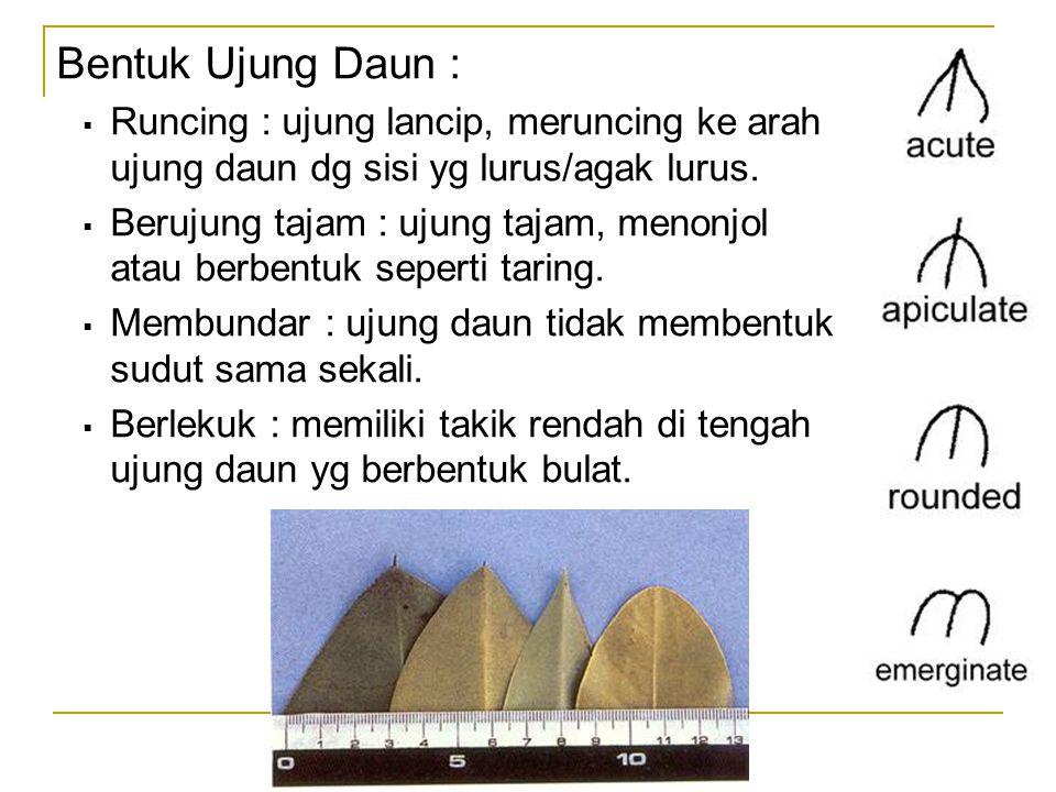 Bentuk Ujung Daun : Runcing : ujung lancip, meruncing ke arah ujung daun dg sisi yg lurus/agak lurus.