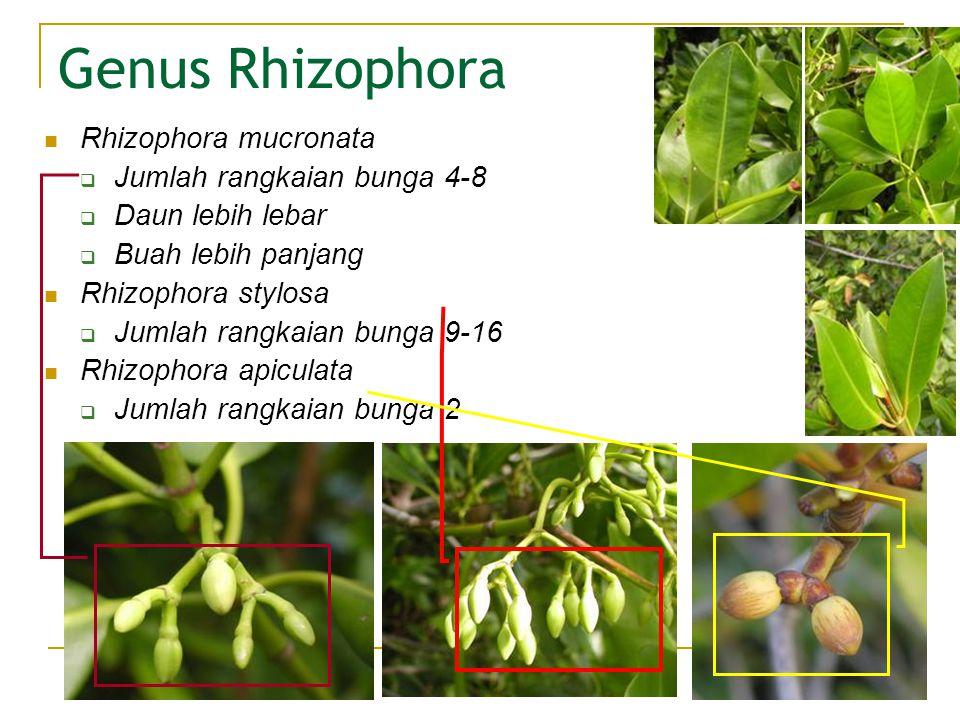 Genus Rhizophora Rhizophora mucronata Jumlah rangkaian bunga 4-8