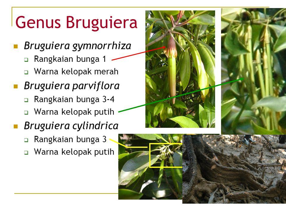 Genus Bruguiera Bruguiera gymnorrhiza Bruguiera parviflora
