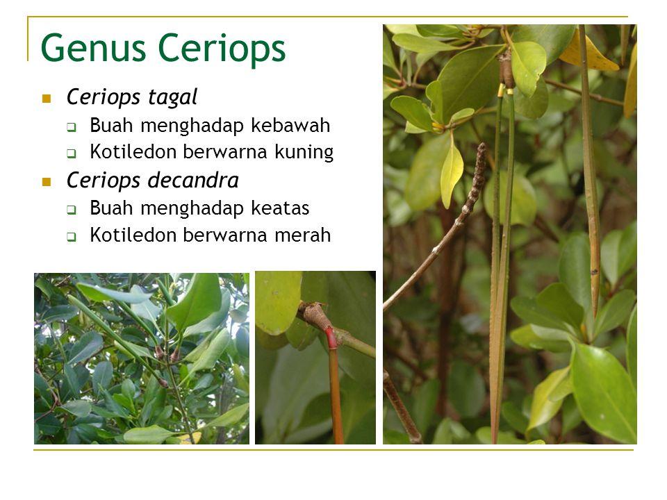Genus Ceriops Ceriops tagal Ceriops decandra Buah menghadap kebawah