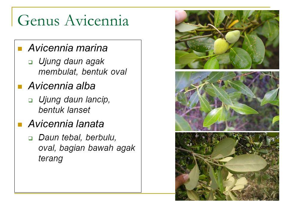 Genus Avicennia Avicennia marina Avicennia alba Avicennia lanata